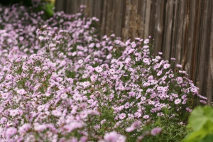 Purple flowers along a wooden fence.